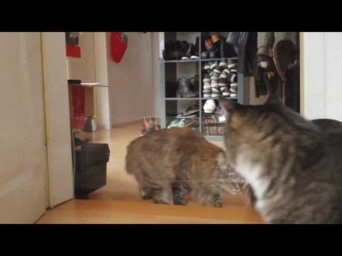 Tricking cats with clear film. Norwegian Forest Cat vs Maine Coon. Who is smarter?