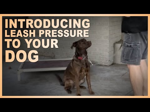 How To Introducing Leash Pressure To Your Dog.