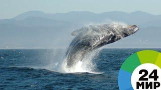 В Канаде сняли на видео чешущегося кита - МИР 24