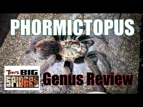 Phormictopus Genus Review