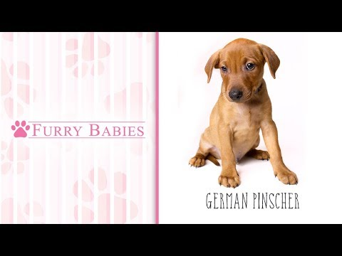 Is the German Pinscher the right breed for you?
