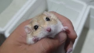 Thú nuôi hamster của 8X 9X dần bị lãng quên