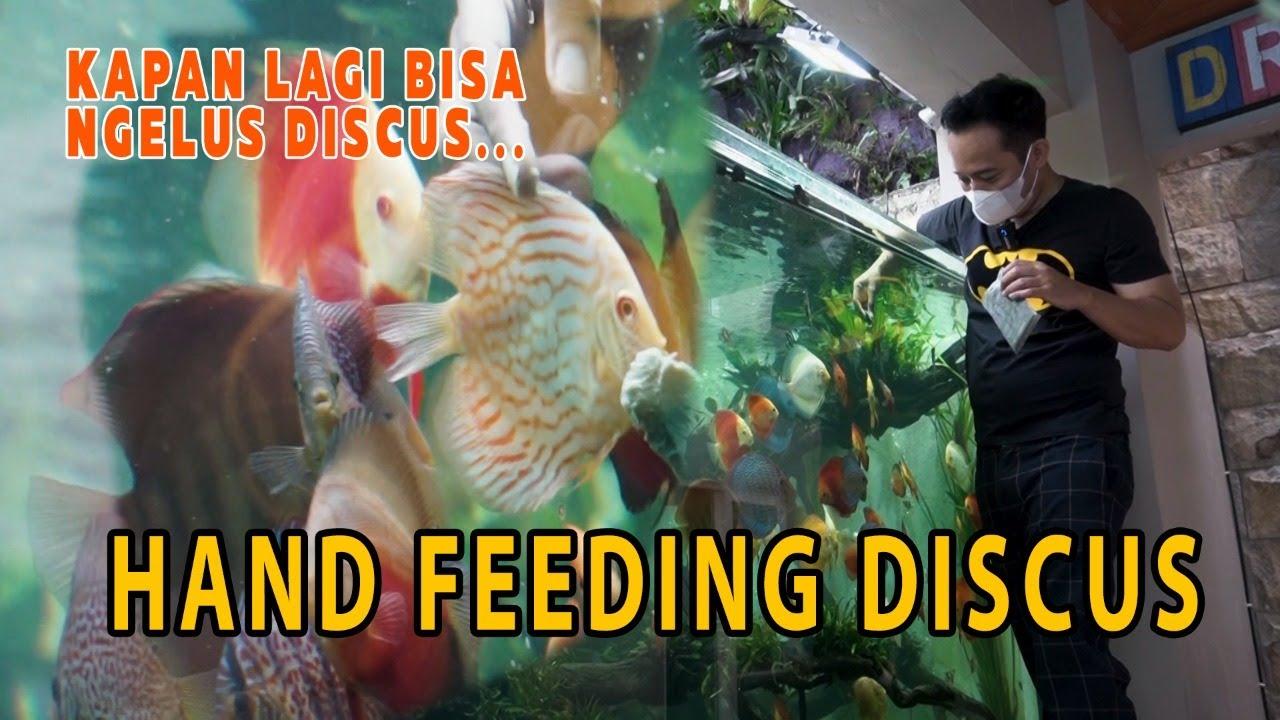 KAPAN LAGI BISA NGELUS DISCUS    HAND FEEDING DISCUS