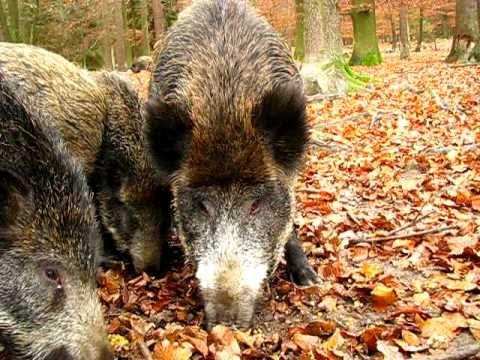 Wildschweine Fressen