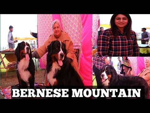 Bernese Mountain || Expensive Breed In India || Dog Show ||  Scoobers