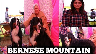 Bernese Mountain    Expensive Breed In India    Dog Show     Scoobers