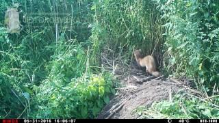 ID1626/Астраханский заповедник/Другие виды животных/Хорёк хочет отобрать нору у лисёнка