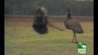 Emus Dancing