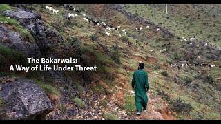 The Bakarwals: A way of life under threat