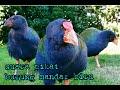 Suara Pikat Burung Mandar Biru  Terbukti Ampuh  Mp3 - Mp4 Download