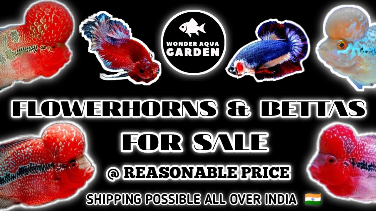 Flowerhorn and Betta's for Sale | தமிழ் | Wonder Aqua Garden