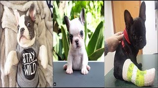 Cute baby Bulldog french puppies Videos Compilation cute moment of the animals - Soo Cute! #4