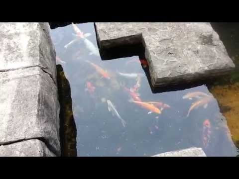Oknha Meas | Swissotel Merchant and Court | Fish Pond | Singapore