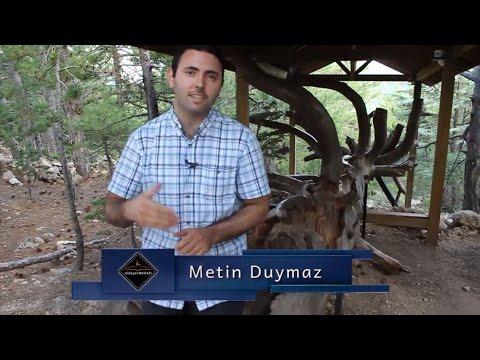 Metin Duymaz - Çam Dağındaki Katran ve Çam ağaçları