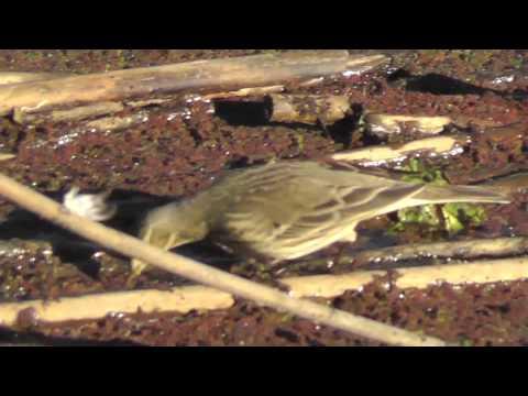American Pipit at Sacramento National Wildlife Refuge