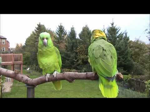 Guyanese Parrot Comedy