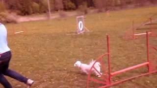 Nelly tränar agility 7