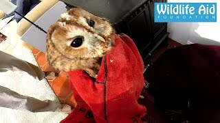 GoPro Wildlife Rescue - Tawny Owl trapped in a conservatory