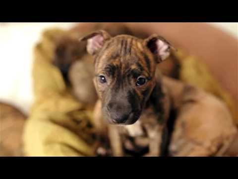 Sweetest Pitbull and Boxer puppies