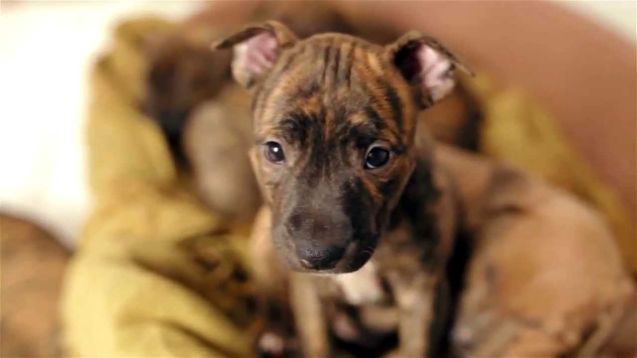 Sweetest Pitbull And Boxer Puppies Youtube