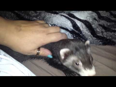 Ferret crying for love