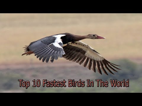 Top 10 Fastest Birds In The World