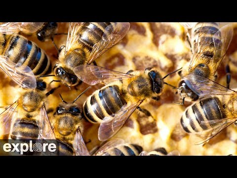 Honey Bees - Hive powered by EXPLORE.org
