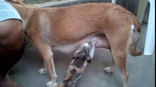 Dog Breastfeeding A Cat Cute