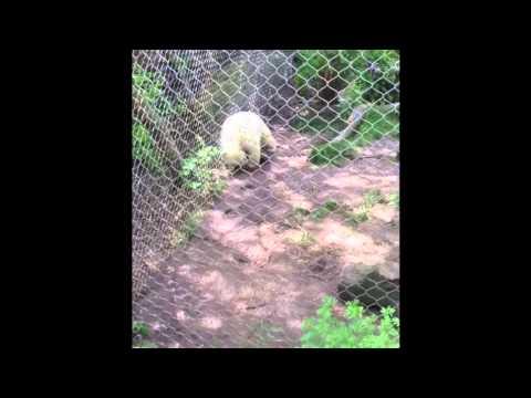 Baby Polar Bear Has An Itch