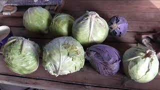 уборка белокочанной капусты, урожайность разных сортов капусты в этом сезоне