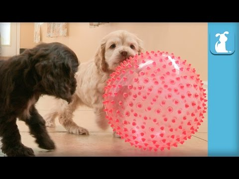 Two Cocker Spaniel Puppies Amazed By Pointy, Squeaky Ball  Puppy Love