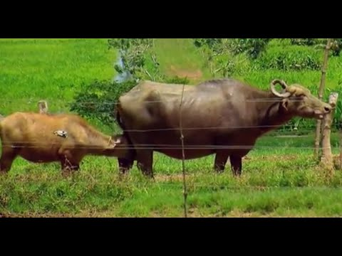 Water Buffalo Breeding in Altamar Farm - Colombia - TvAgro by Juan Gonzalo Angel