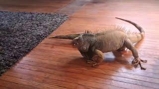 戦いのゴングは突然に。おもちゃに戦いをしかけるイグアナのピップさん