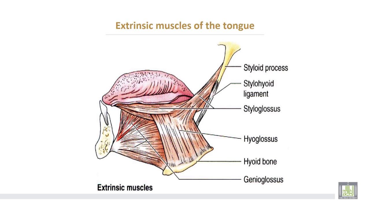 Anatomy 2 U1 L13 Tongue Youtube