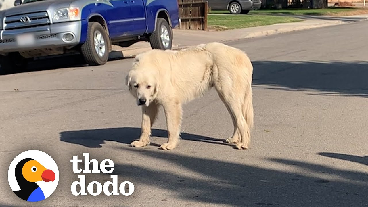 No One Could Catch this Giant Stray Great Pyrenees Until... | The Dodo