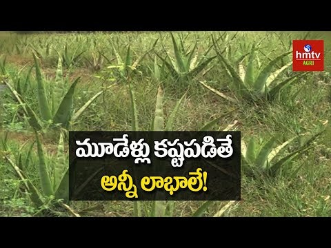 Aloevera Cultivation | Natural Farming | hmtv Agri