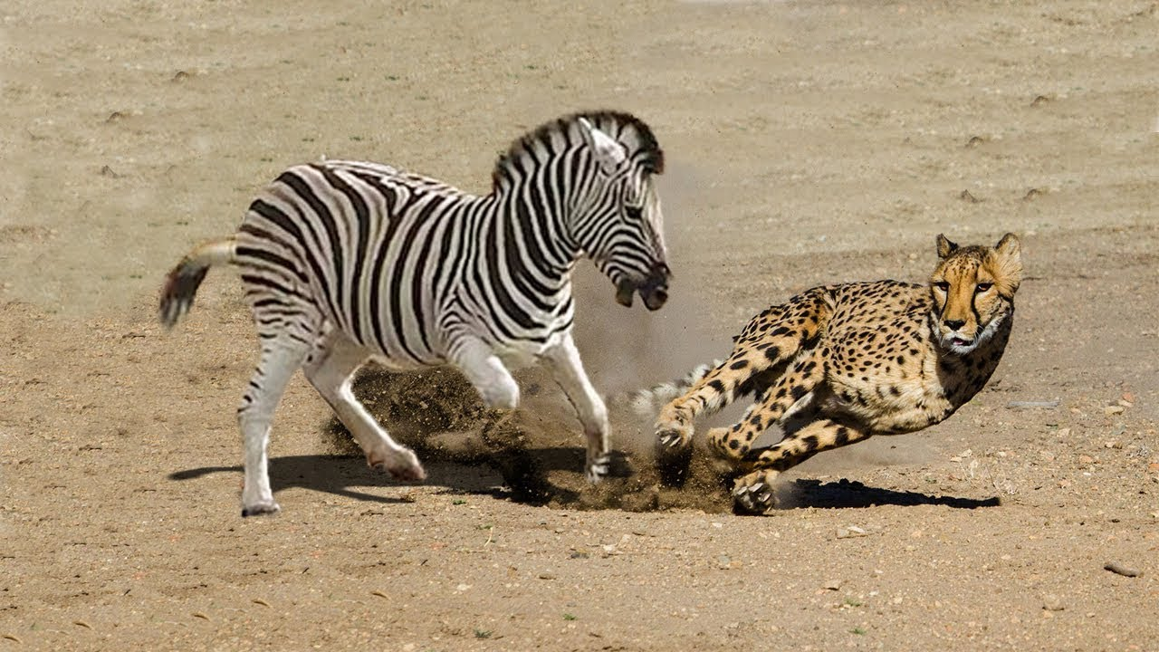 Amazing Mother Zebra Save Her Baby From Cheetah Hunting