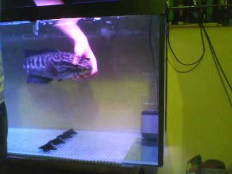 Petting a Monster Fish (Northern Snakehead/Channa Argus)