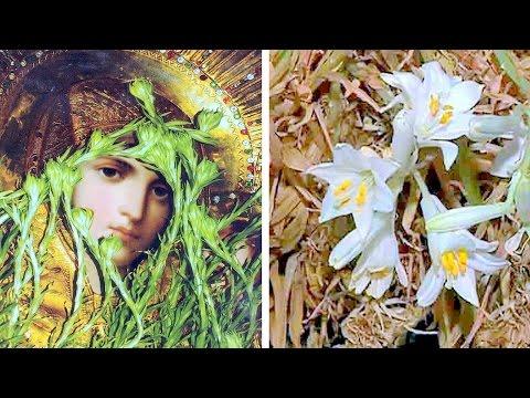 Засохшие лилии расцвели
