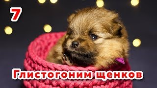 🐾 Щенкам 3 недели. Первая дегельминтизация собаки. Глистогоним щенка шпица