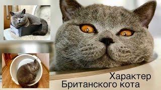 Смешные моменты БРИТАНСКОГО КОТА или какой ХАРАКТЕР кота /British cat