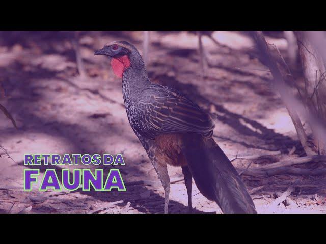 JACU-VERDADEIRO - Retratos da Fauna #12