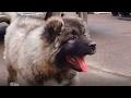 Очаровательный щенок Кавказской овчарки 2.5 мес.Charming puppy Caucasian Shepherd 2.5 months.