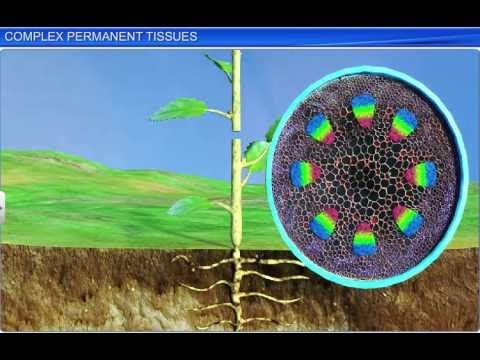 CBSE Class 11 Biology, Anatomy of Flowering Plants – 2, Complex Permanent Tissues
