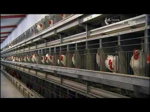 Brüten für den Weltmarkt - Das Hühnerimperium an der Nordsee