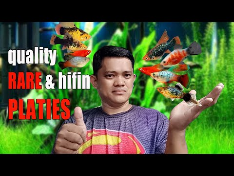 HIGH QUALITY PLATIES | How To Breed Platy Complete Guide (ENGLISH SUBTITLE)