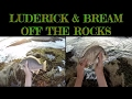 LUDERICK & BREAM OFF THE ROCKS ( on sea cabbage for bait)
