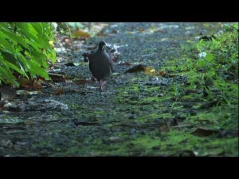 Crested Quail-dove, Jamaica