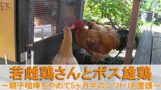 """2017年10月下旬の朝。 名古屋コーチンの雌鶏""""かえで""""が大きな初卵をケー..."""