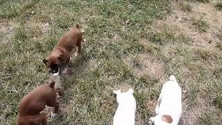Boxer Puppies Potty Training at 9 Weeks